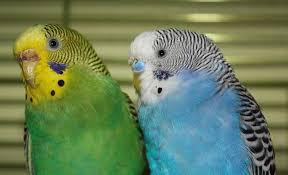 Как узнать пол попугая